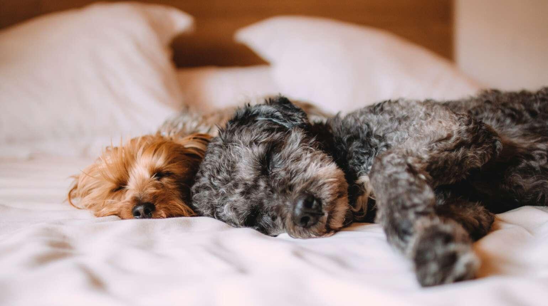 Jak oduczyć psa wchodzenia na łóżko?