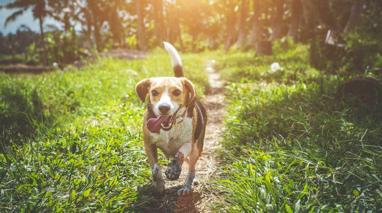 Czy warto kupić psa Beagla?